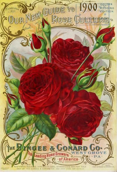 Our new guide to rose culture : 1900 : Dingee & Conard Co : Free Download, Borrow, and Streaming