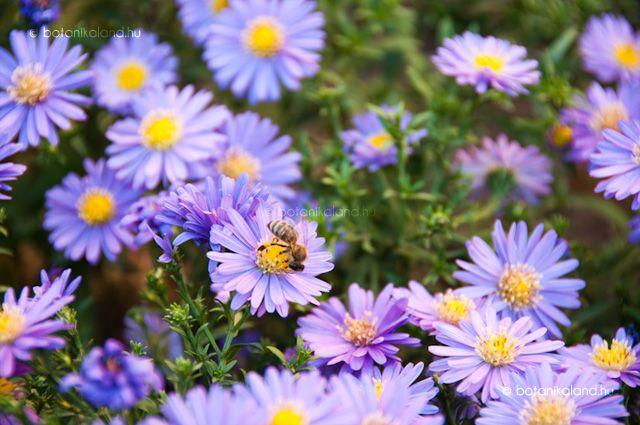 A kevés ősszel virágzó évelőnk egyike, ez a falusi kertekben is nagyon népszerű virág.