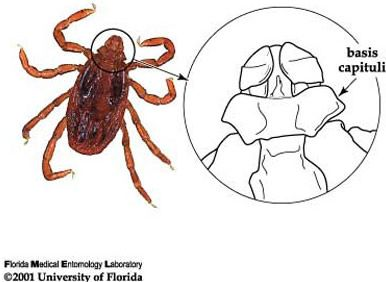 Hexagonal basis capituli, an identifying character for the brown dog tick, Rhipicephalus sanguineus Latreille.