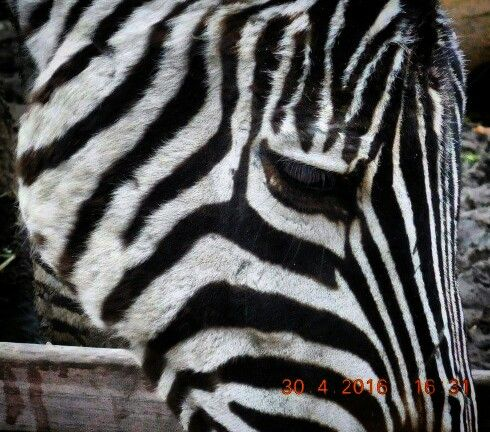 "Close-up Zebra ""pictures by myself "" NIKON COOLPIX S7000"