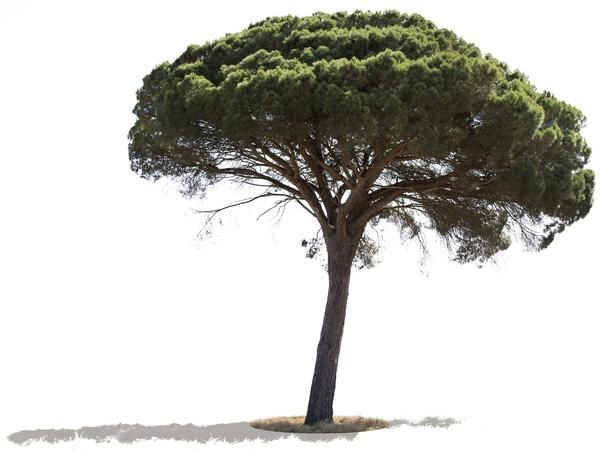 Pinus Pinea II 4884 x 3688 pixels, PNG with transparent backgroung. Pino domestico; Pino manso; Pinheiro manso Stone pine, also known as the Italian stone pine,
