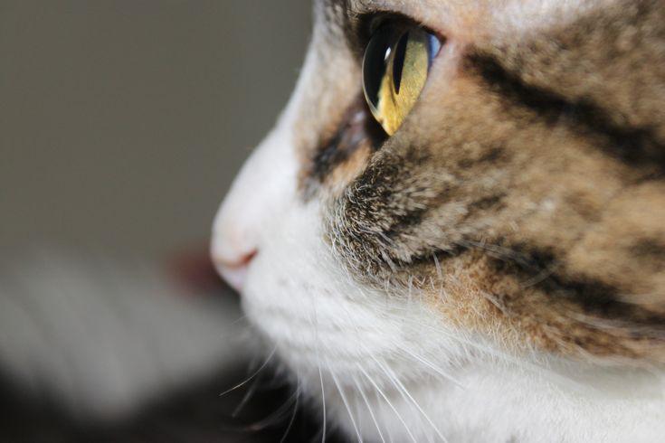 Looking Cats Kitty Zeus