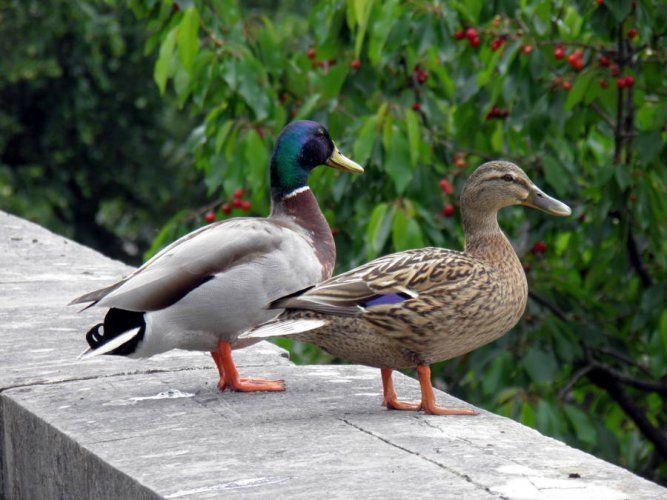 Colvert - Clinique vétérinaire du Mail à Pau 64 - vétérinaires pour Chien, chats, oiseaux, NAC...