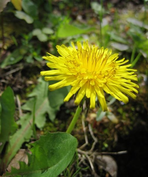 a weed?  natural medicine doesn't think so.  Dandelions have MANY different medicinal and health benefits.