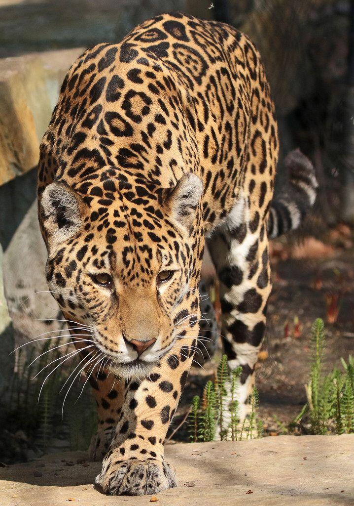 jaguar Rica artis BB2A7958