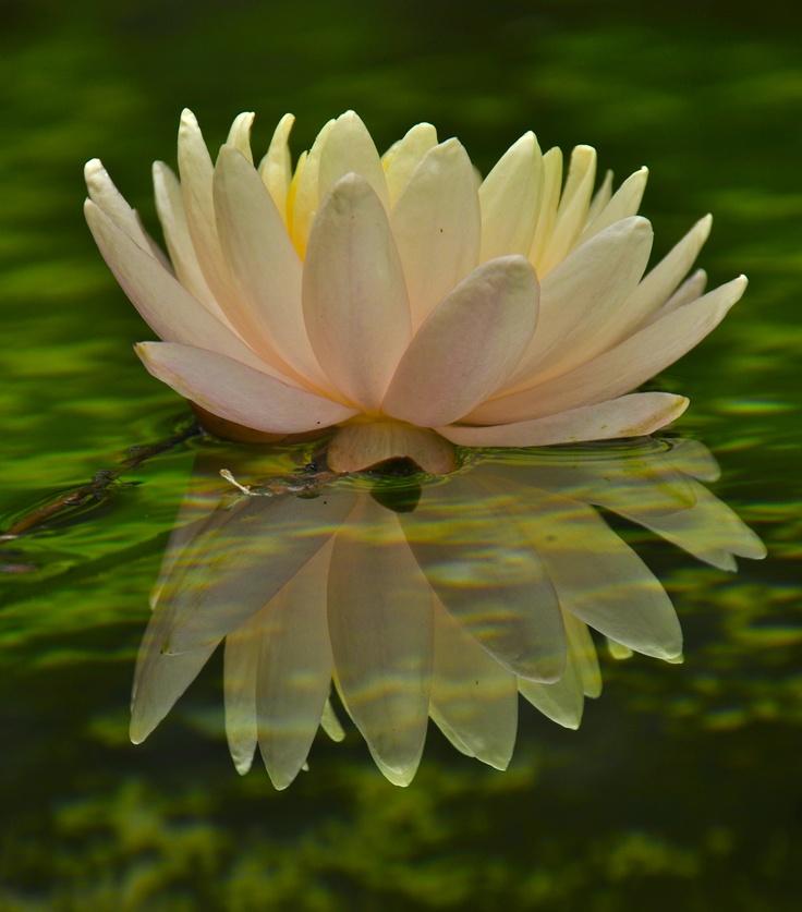 Botanical!: Natural Beautiful, Water Lilly, Doodles Inspiration, Aboloff Photography, Jules Aboloff, Flowers Hosta, Nature Beautiful, Water Lilies, Creative Inspiration