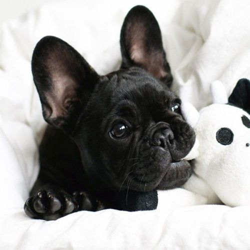 Puppy Love :: The most funny + cutest :: Free your Wild :: See more adorable Puppies + Dogs @untamedorganica :: French Bulldog