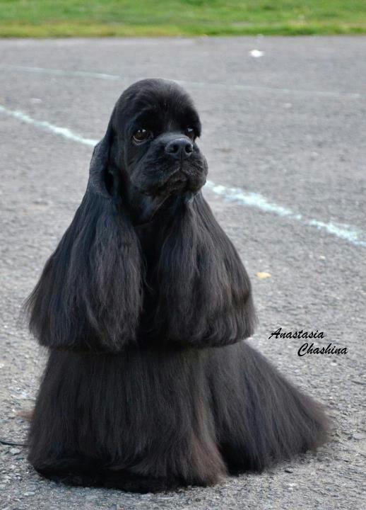 Black american cocker spaniel puppies | Flickr - Photo ...