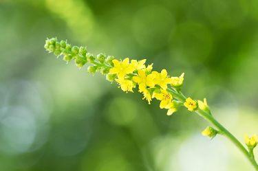 Health Benefits of Agrimony http://onecaremagazine.com/health-benefits-agrimony/ #nutrition #agrimony