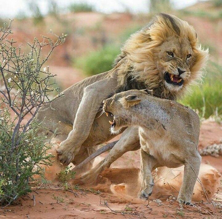 Leones En Cortejo Felinos Animales Salvajes Grandes Felinos