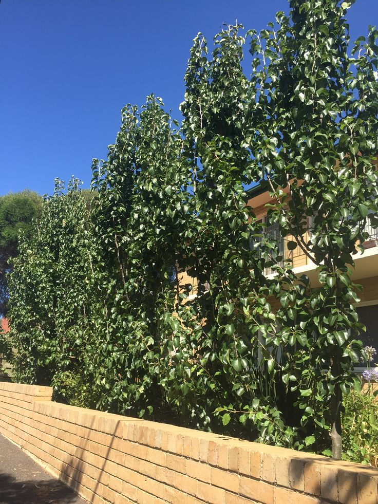 Capital Pear trees to flank the driveway