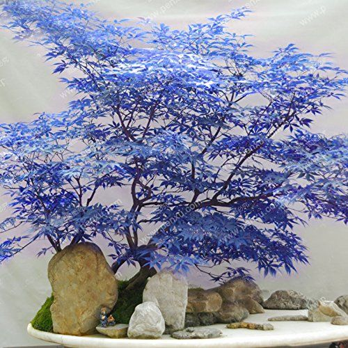 Blue Maple Seeds Maple Seeds Bonsai Tree Plants Potted Garden Japanese Maple Seeds 10 Pieces / Lot | shopswell