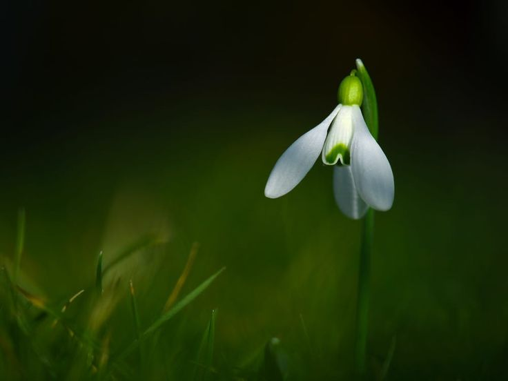 snowdrop by Zsolt Goór on 500px