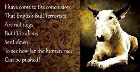 English Bull Terrorists!!!