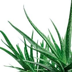 Tips for Growing Aloe Vera Plant