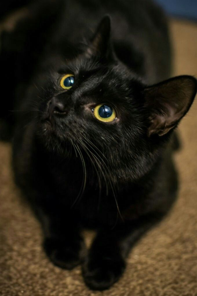 Types Of Large Black Cats