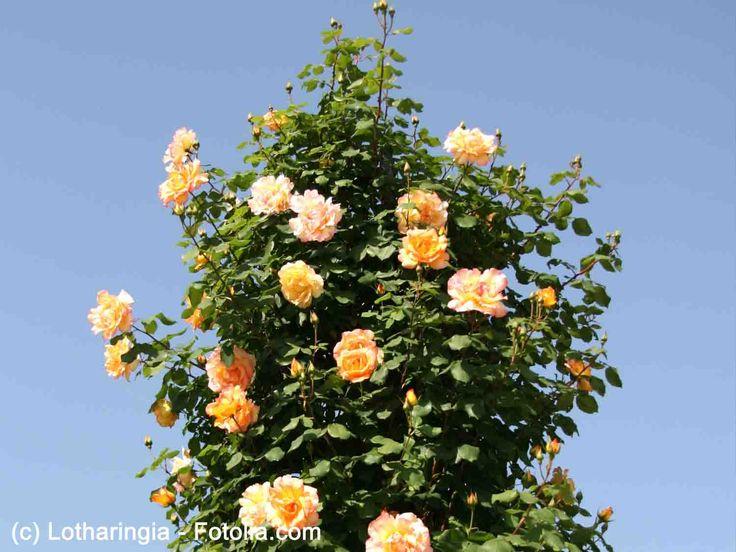 Les 25 meilleures id es concernant taille rosier grimpant sur pinterest taille des rosiers - Comment tailler des rosiers ...