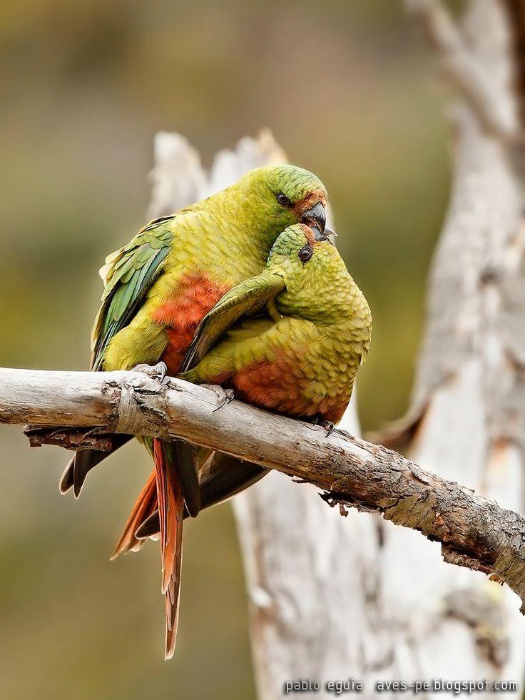 mis fotos de aves: Cachaña [Enicognathus ferrugineus] Austral Parakee...