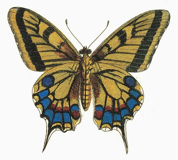 Farfalle: Disegni Vintage - Butterfly: Vintage Pictures