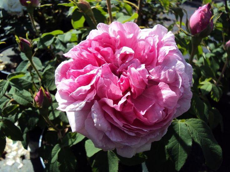 Historische Rose Mme. Boll - Züchter Boll/Boyau 1850