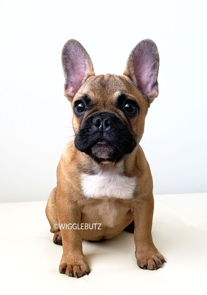 French Bulldog Puppies For Sale French Bulldog Puppies French
