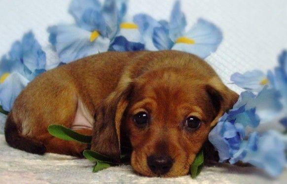 A precious Dachshund puppy: Hound Puppies, Dachshund Puppies, Doxi, Minis Dachshund, Dogs Stands, Dachshundsmi Heart, Weiner Dogs, Dachshund Awww, Adorable Animal