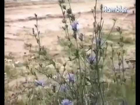 Лекарственная трава.Цикорий фото свойства польза и вред  как пить