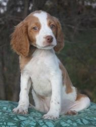 Barney Is An Adoptable Brittany Spaniel Dog In Albany Ny Many Of You Have Been Following And Brittany Spaniel Brittany Spaniel Dogs Brittany Spaniel Puppies