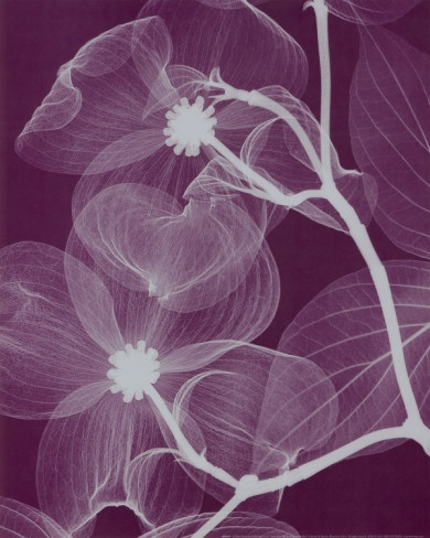 Silver Dogwood, Ethereal X-ray photography by Washington state artist Steven N. Meyers