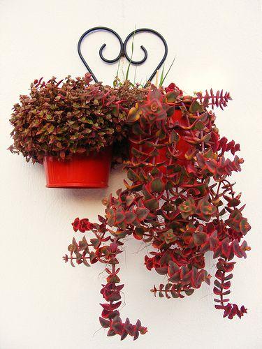 Succulent Plant Information Crassula Pelucida Beautiful Plants Pinterest Succulent Plants