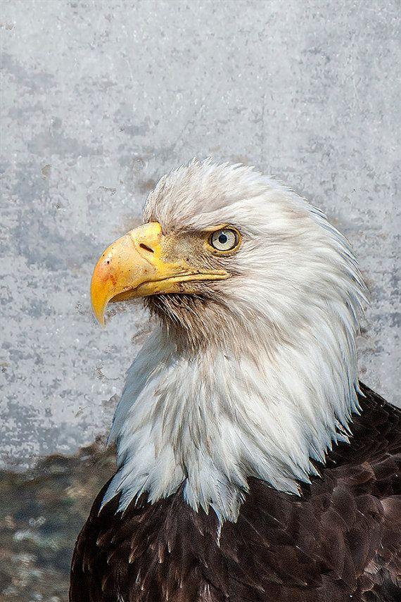 Bald Eagle Image Bald Eagle Portrait Raptor by ImagesbyDougParrott, $15.00