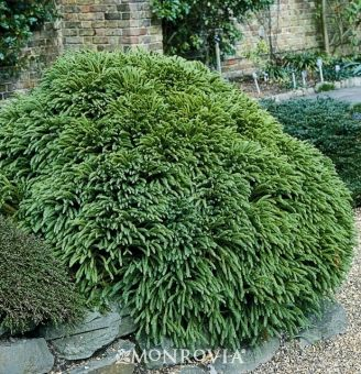 Cryptomeria 'Globosa Nana' A superb cedar that retains a neat, dense mound. Fine-textured foliage. Foliage becomes rusty red in winter. Evergreen. Dwarf Habit. Partial to full sun. Slowly forms a dense dome 2-3' tall, slighty wider.