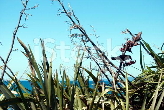 Tui in the Harakeke (NZ Flax) royalty-free stock photo
