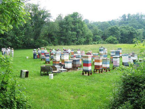 Cum intretinem familiile de albine in perioada culesului, pentru a valorifica la maxim culesul respectiv. Intra acum pentru a descoperi secretele.