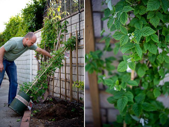 growing raspberries against a wall