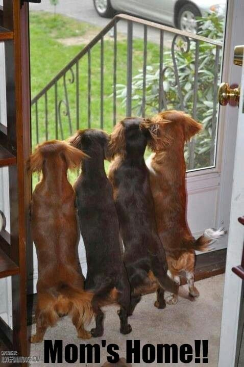 Doxie lookouts! #dogs #pets #Dachshunds Facebook.com/sodoggonefunny
