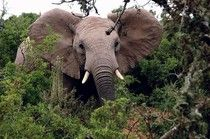 Endangered Elephants' Fate Rests With China's Crucial Decision