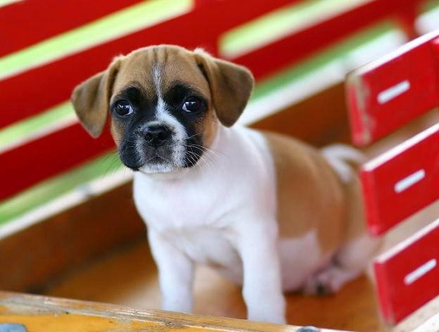 Pug And Jack Russell Terrier Jug Animal Fun Pugs Pug Mix Dogs