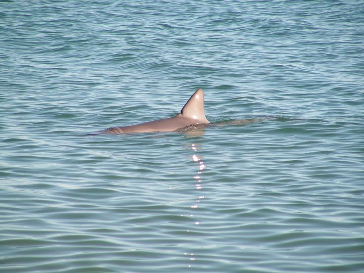 Dolphin at Shark Bay