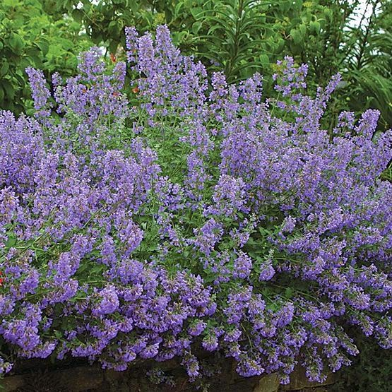 the garden: A Filler No Garden Should Be Without Nepeta or better yet, Catmint makes for a wonderful filler plant  Billowy  Dependable  Non - Invasive  May to September   Sun to Partial Shade  Grey Green Aromatic Leaves  Purple , Lavender, White Blooms