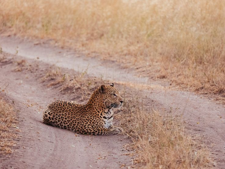 Maxabeni aguardando uma presa, sentado no meio da estrada. Maxabeni é um belo leopardo que vive na Reserva Sabi Sand Game em  Lowveld de Mpumalanga, África do Sul.  https://yummy-planet.com/en/chasing-the-hunter-safari-experience-in-south-africa