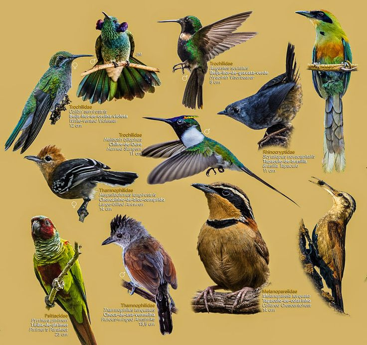 Guia: Aves do Cerrado | ((o))eco