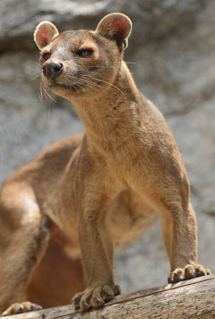 Lady Fossa by Mike Wilson Did you know? The modern mongoose and the fossa evolved from the same ancestor, which arrived on Madagasca...