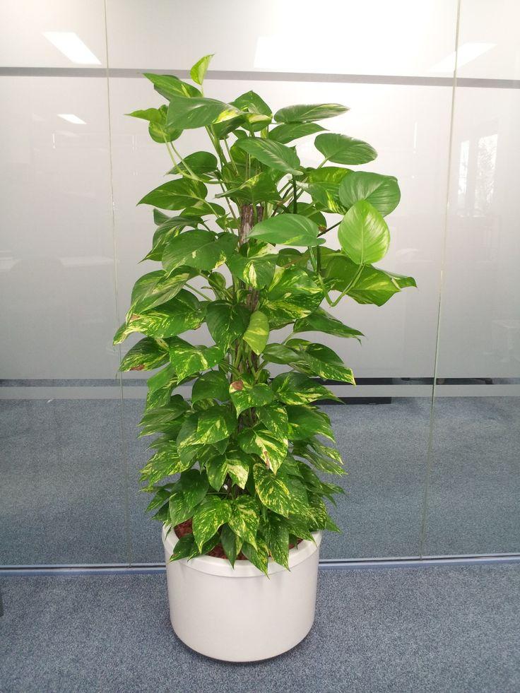 Devil's Ivy aka Pothos (Scindapsus aureus) Plants for