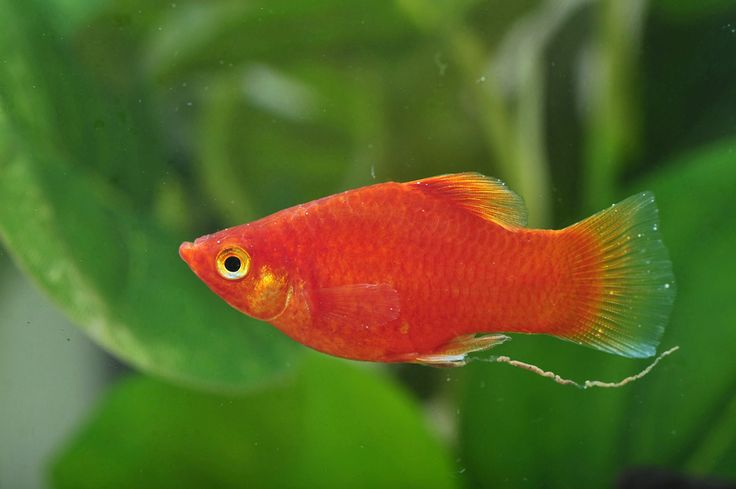 219 best aquarium fish tanks plants images on pinterest for Non aggressive fish