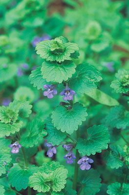 Herb called Creeping Charlie - interesting article. This extremely common weed (it's all over my lawn) actually has an interesting history of medicinal use. Tender young growth is rich in Vitamin C and can be eaten like spinach.