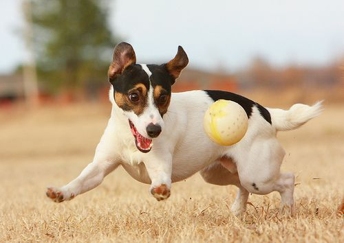 How to Keep a Jack Russell Terrier Happy: 9 Steps (with Pictures)