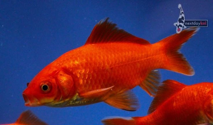 3 to 4 ruby red comet imported goldfish live fish for koi for Imported koi fish