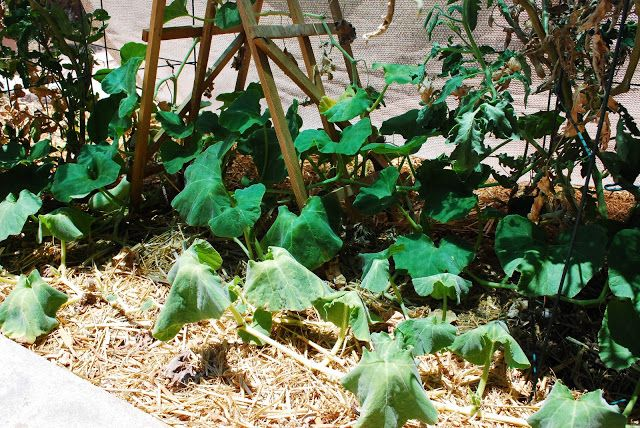 Tips for Starting a Vegetable Garden in the Desert - EXACTLY what I needed to hear about the heat