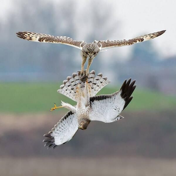 This is what an owl and a hawk battling it out midair for food looks like.